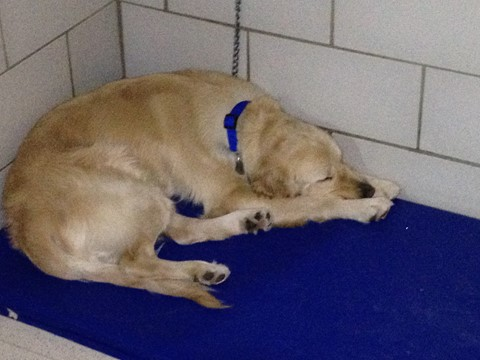 Penny sleeps on her blue bed in Leader Dog dorm room.