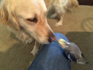 Penny, a Golden Retriever, and Coco, a gray Cockatiel, are nose to beak.