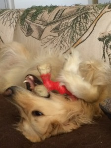 Penny, a Golden Retriever, lays on her back on the couch chewing on a Nylabone.  She is using her paws like hands to hold it.